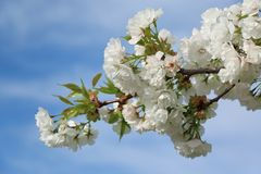 Cherry blossoms on branches at spring. Flowers of the cherry blossoms on branches at spring against blue sky Royalty Free Stock Photo