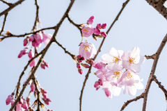 Cherry blossoms and branches Stock Photography
