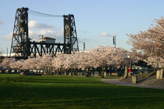 Cherry blossoms and bridge. Steel Bridge, in Portland Oregon behind several cherry blossoms Royalty Free Stock Images