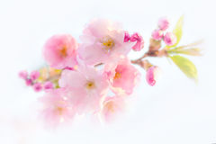 Cherry blossoms. On a bright background Stock Images