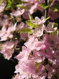 Cherry Blossoms in British Columbia Royalty Free Stock Photos