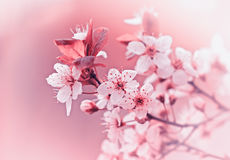 Cherry blossoms - budding buds. In April Ad May stock images