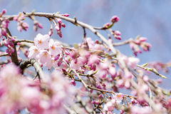 Cherry blossoms and buds Royalty Free Stock Photography