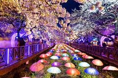 Cherry blossoms, busan city in south korea Royalty Free Stock Image