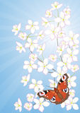 Cherry blossoms and butterflies Stock Images