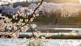 Free Cherry Blossoms By River At Sunset Royalty Free Stock Photos - 95372978