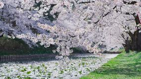 Free Cherry Blossoms By The Water Royalty Free Stock Photo - 173313795
