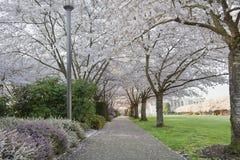Cherry Blossoms Canopy Along Garden bana arkivbild