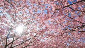 Cherry blossoms canopy with the sun. Shining through the branches, dolly footage stock video