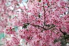 Cherry Blossoms in Charleston South Carolina Royalty-vrije Stock Afbeeldingen