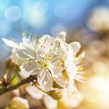 Cherry blossoms. Against a blue sky Royalty Free Stock Photos