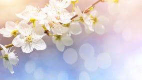 Cherry blossoms. Against a blue sky Stock Photos
