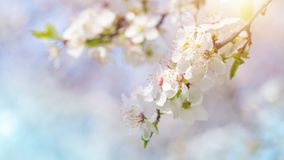 Cherry blossoms. Against a blue sky Royalty Free Stock Images