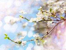 Cherry blossoms. Against a blue sky Stock Photo