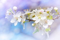 Cherry blossoms. Against a blue sky Stock Photography