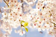 Cherry blossoms. /  sprinkling the spring under the blue sky Stock Photos