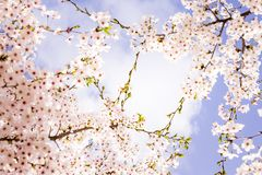 Cherry blossoms. /  sprinkling the spring under the blue sky Royalty Free Stock Photography
