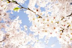 Cherry blossoms. /  sprinkling the spring under the blue sky Stock Image