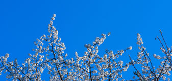 Cherry blossoms, cherry tree Stock Image