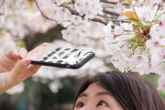 Cherry blossoms 2019 royalty free stock photo