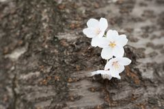 cherry blossoms in chiba stock photography