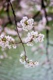 Cherry Blossoms an Chidorigafuchi-Burggraben, Chiyoda, Tokyo, Japan im Frühjahr Stockfoto