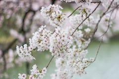 Cherry Blossoms an Chidorigafuchi-Burggraben, Chiyoda, Tokyo, Japan im Frühjahr Stockbilder