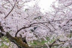 Cherry Blossoms an Chidorigafuchi-Burggraben, Chiyoda, Tokyo, Japan im Frühjahr Lizenzfreie Stockfotos