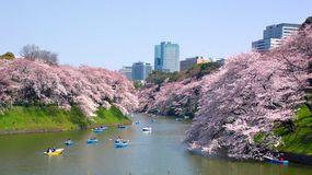 Cherry blossoms at Chidorigafuchi in TOKYO JAPAN Royalty Free Stock Photo