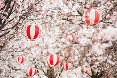 Cherry blossoms with Chinese Royalty Free Stock Photo