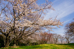 Cherry blossoms and cirrus clouds Stock Image
