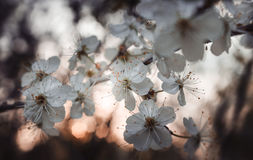 When cherry blossoms clean. When cherry blossoms spring evening Stock Photos