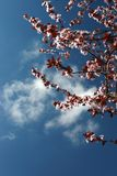 Cherry blossoms and a clear sky Royalty Free Stock Image