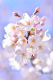 Cherry Blossoms (close-up). Royalty Free Stock Photo