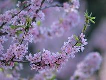 Cherry blossoms close-up Stock Photos