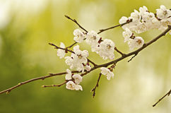 Cherry blossoms. Close-up on green background Stock Photography