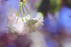 Cherry Blossoms. A close up of hanging cherry blossoms in a spring garden royalty free stock photography