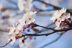 Cherry Blossoms. Close up of Cherry blossoms opening on branch in the spring day Royalty Free Stock Image