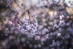 Cherry Blossoms Close Up Photography Stock Photos