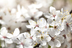Cherry blossoms, close-up Stock Photography