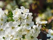 Cherry Blossoms Closeup Fotos de archivo