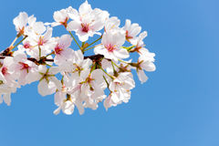 Cherry Blossoms Closeup Against een Diepe Blauwe Hemel Royalty-vrije Stock Fotografie