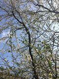 Cherry blossoms. Closeup of white cherry blossoms in spring against blue sky Royalty Free Stock Photography