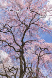 Cherry Blossoms and Clouds Stock Photography