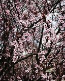 Cherry Blossoms Cold Day. Cherry Blossoms on a cold day pink flower tree spring early spring Stock Photo