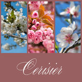 Cherry blossoms collage Royalty Free Stock Photography