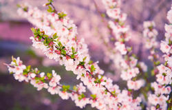Cherry blossoms. Royalty Free Stock Photography