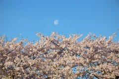 Cherry Blossoms com lua foto de stock