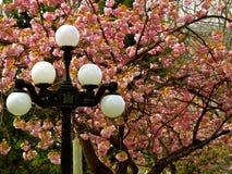 Cherry Blossoms con la luz de calle Imagen de archivo libre de regalías