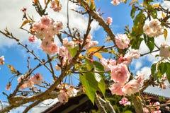 Cherry Blossoms con tutti i fiori di rosa fotografie stock libere da diritti